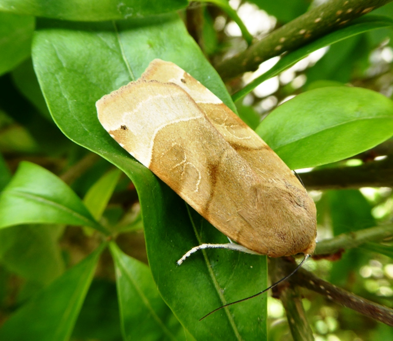 Broad-bordered Yellow Underwing