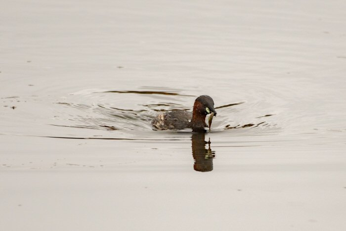 Little Grebe with Rudd