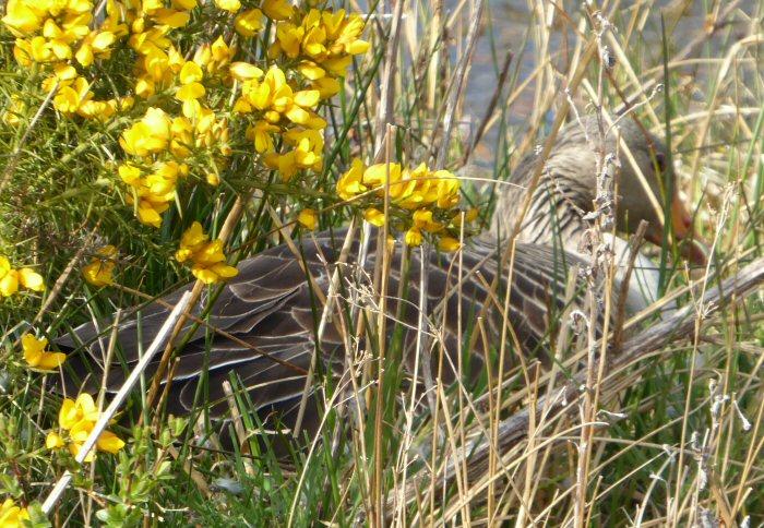 Greylag Goose on nest