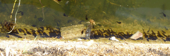 Tadpoles on the wall of the weir