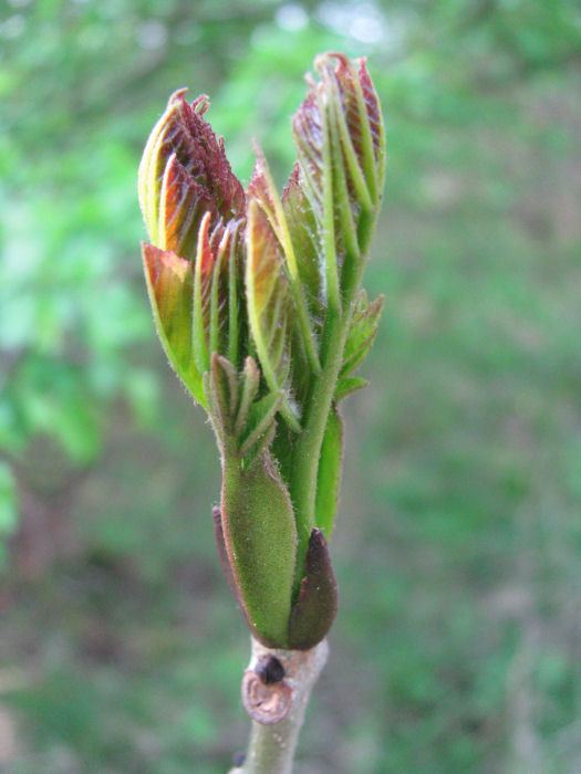 Bursting Ash bud