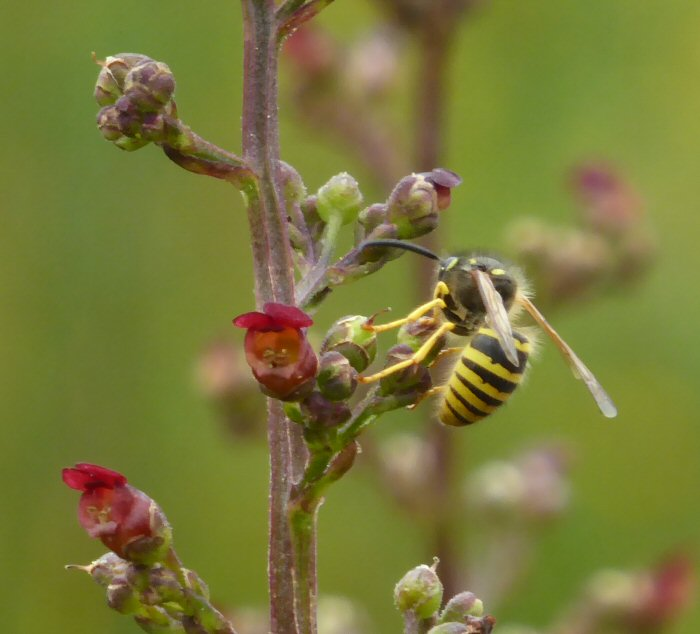 Wasp on Water Figwort