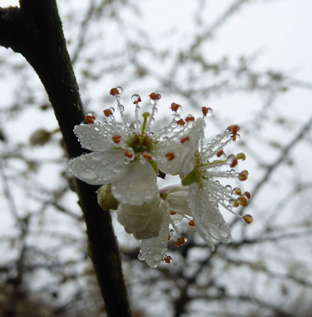 Blackthorn with accompanying water droplets