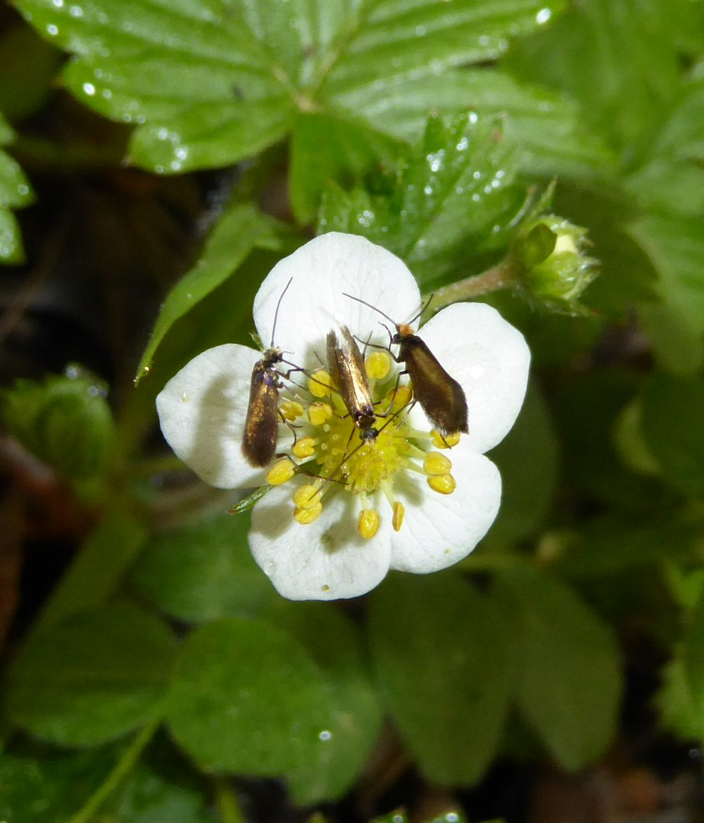 Wild Strawberry and  Micropterix calthella,
