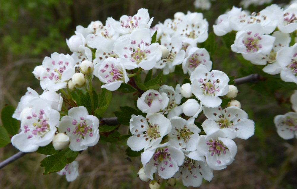 Hawthorn of May