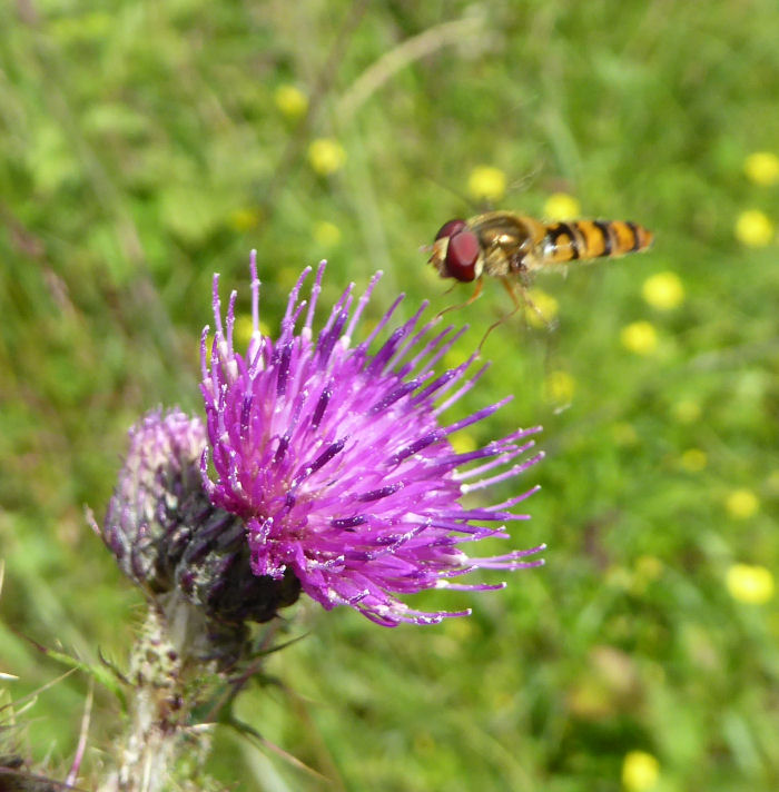 Hoverfly near thistle