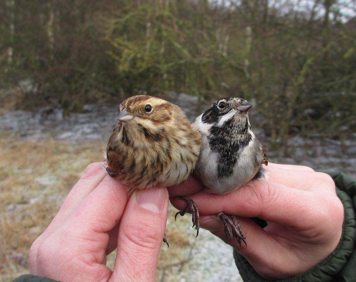Male and female Reed Bunting