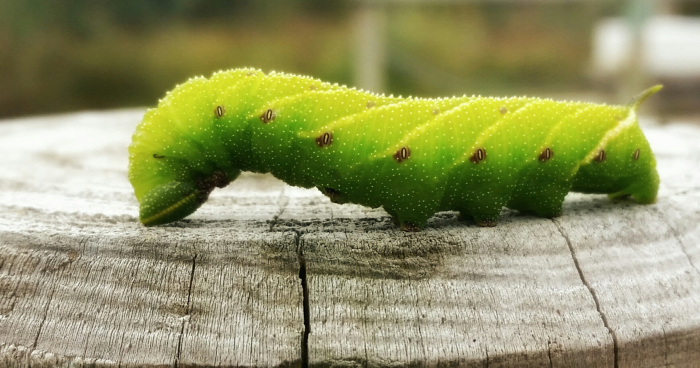Green Caterpillar thought to be Poplar Hawkmoth