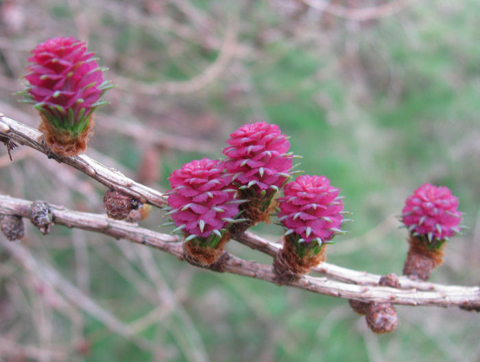 Larch flowers
