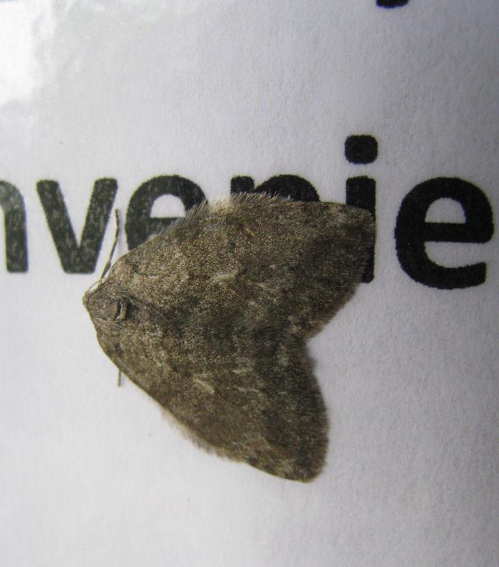 Epirrita sp of moth
