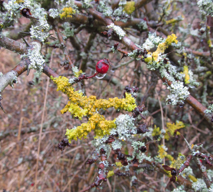 Hawthor branch and its accompanying lichens.
