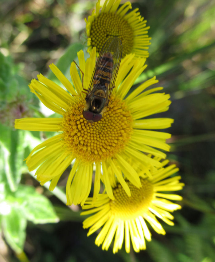 Hoverfly on Fleabane