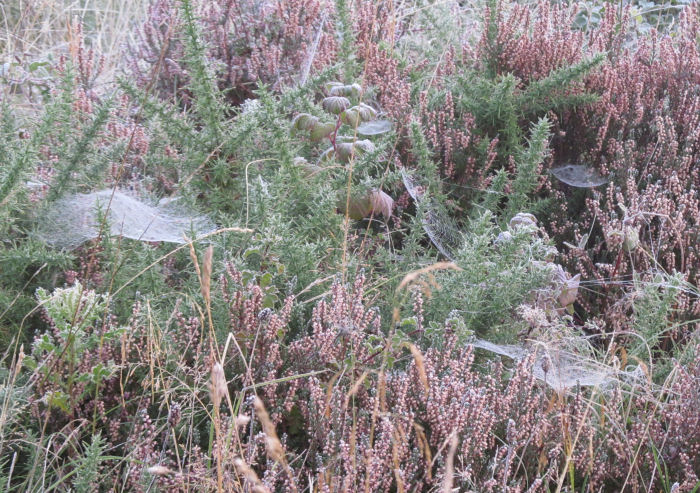 Spider's webs and frost on the heath