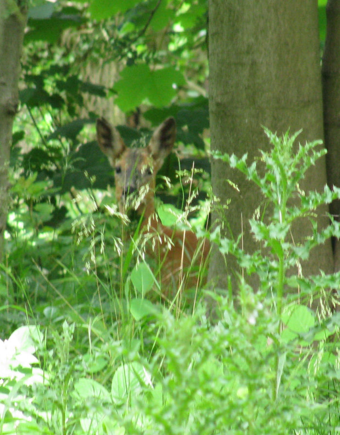 Roe Deer behind pesky vegetation!