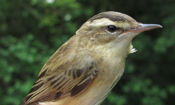 A 'French' Sedge Warbler