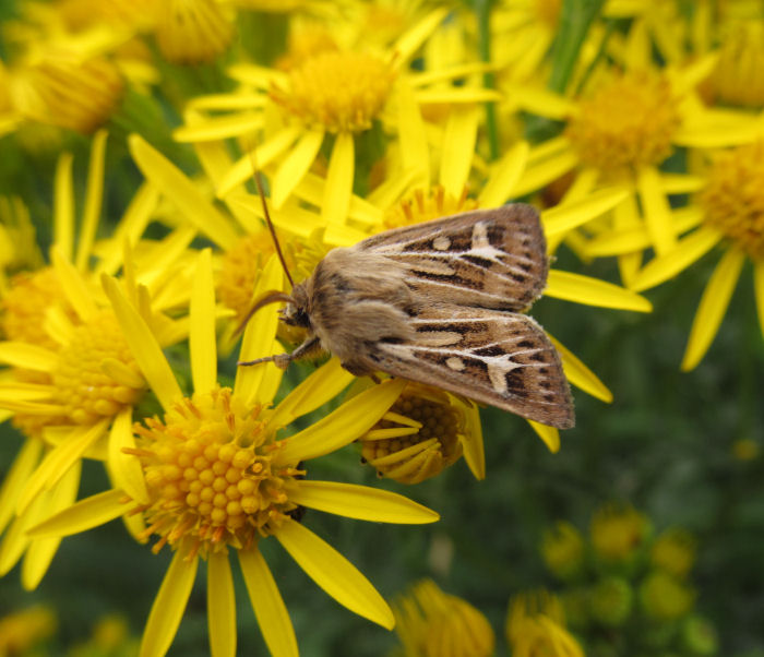 Antelr Moth on Ragwort