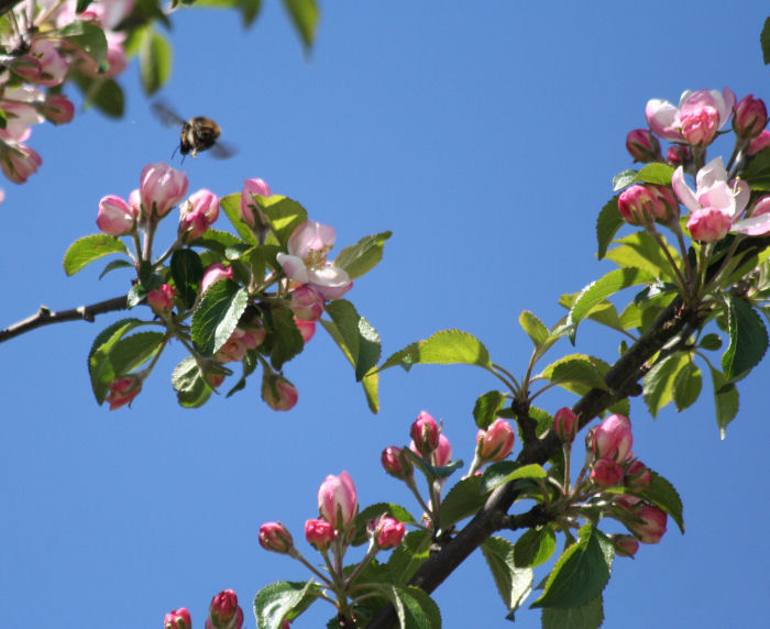 Bee flying through the blossom