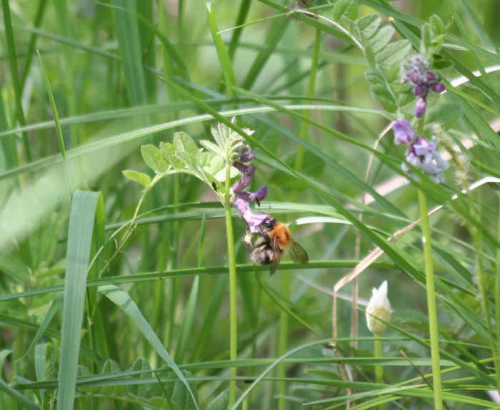 Bee feeding on vetch
