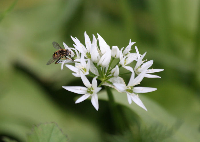 Hoverfly on Wild Garlic
