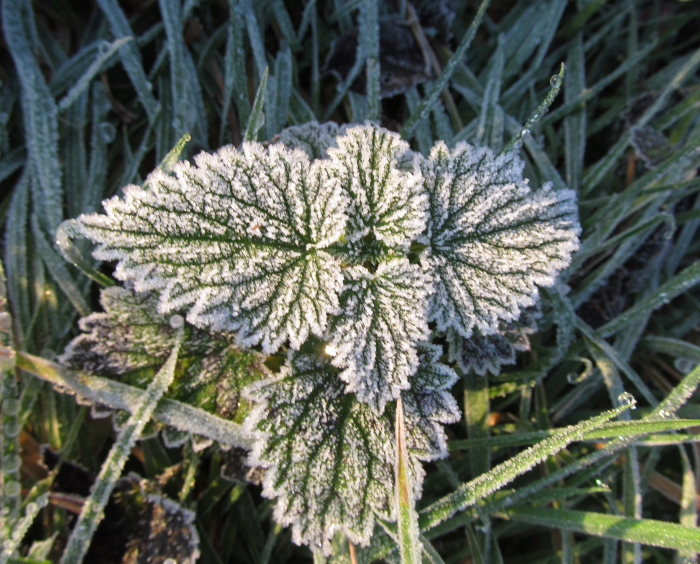 Frost coated Nettle leaves