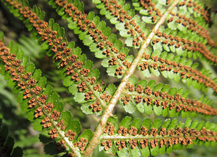 Fern spores on back of frond