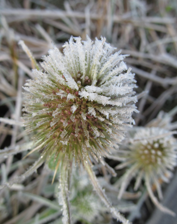 Teasel head covered in frost