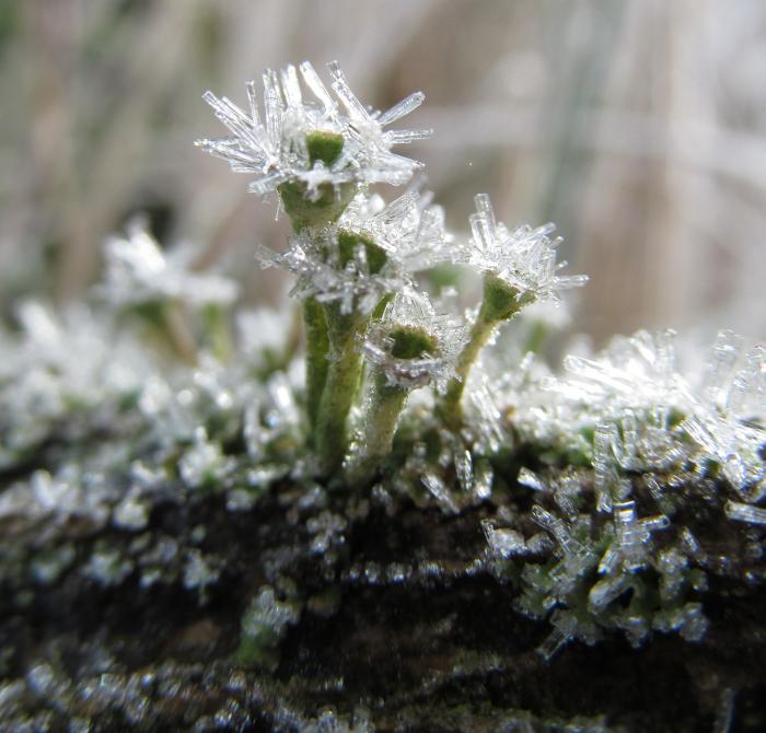 Frost on Lichen