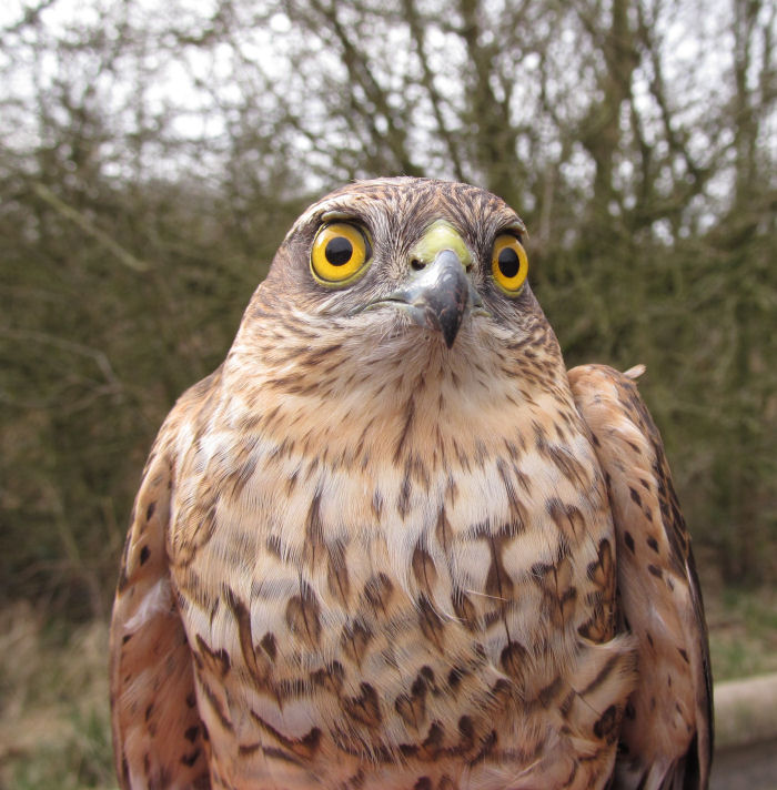 Young male Sparrowhawk
