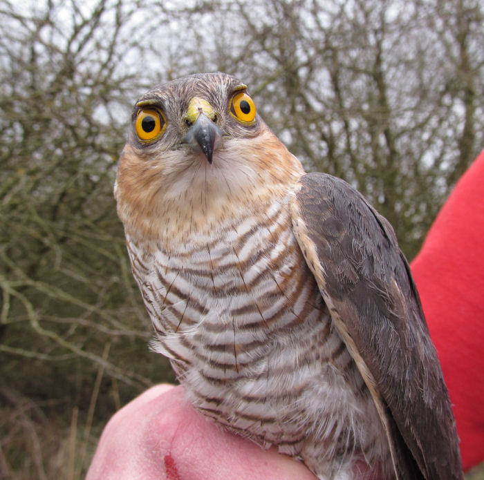A male Sparrowhawk
