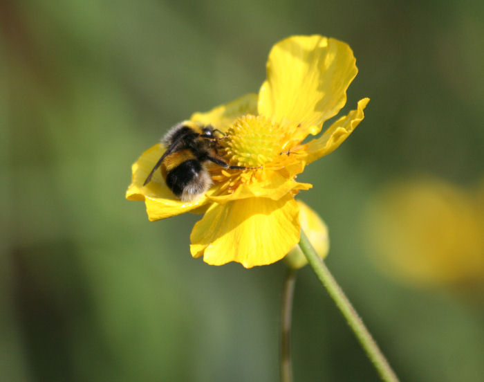 bee on Greater Spearwort.