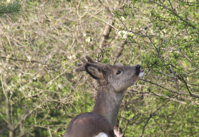 Roe Buck eating Hawthorn leaves