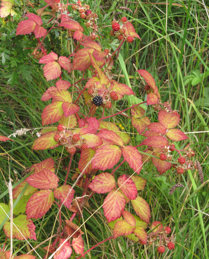 Autumn colours on Blackberry