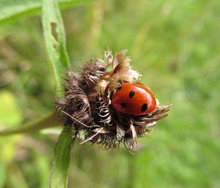 Seven Spot Ladybird in a Knapweed head
