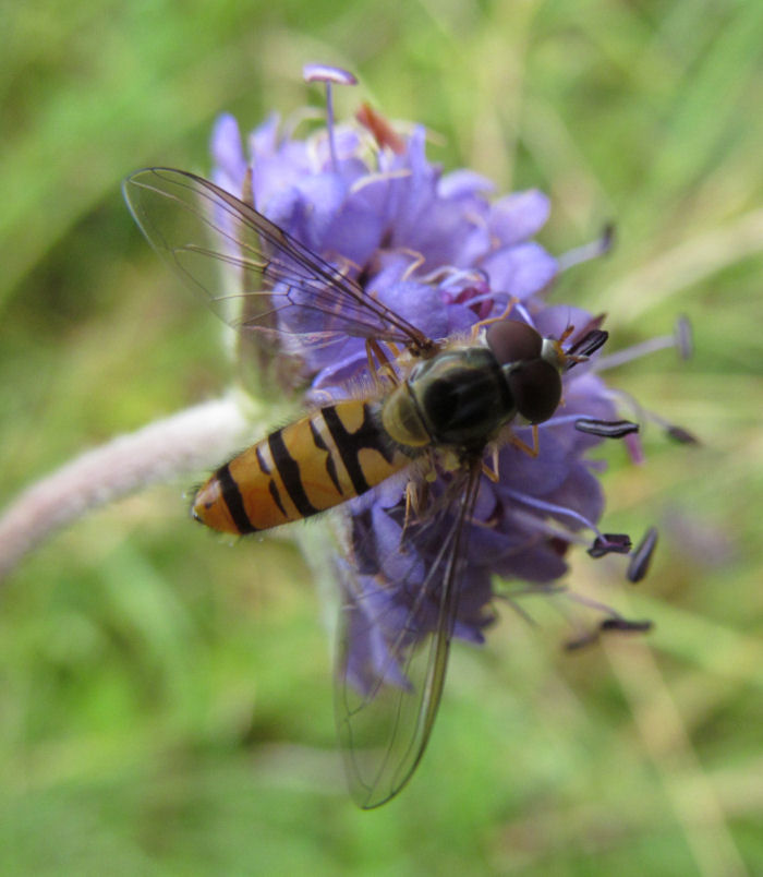 Hoverfly on Devil's Bit Scabious