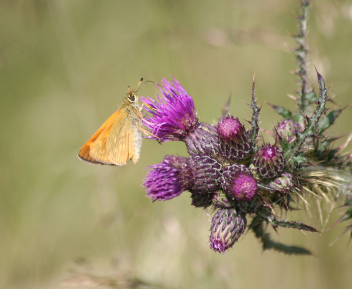 Skipper feeding on thistle flower