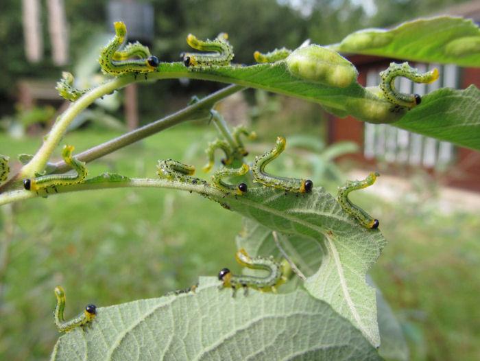 Defensive sawfly larvae