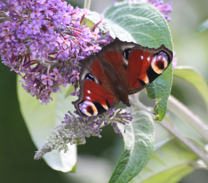 Peacock Butterfly on the Buddleia