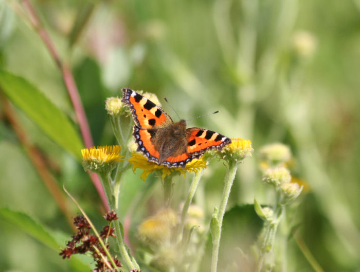 Small Tortoiseshell Butterfly on Fleabane