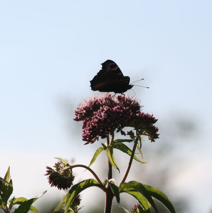 Peacock Butterfly feeding on Hemp Agrimony