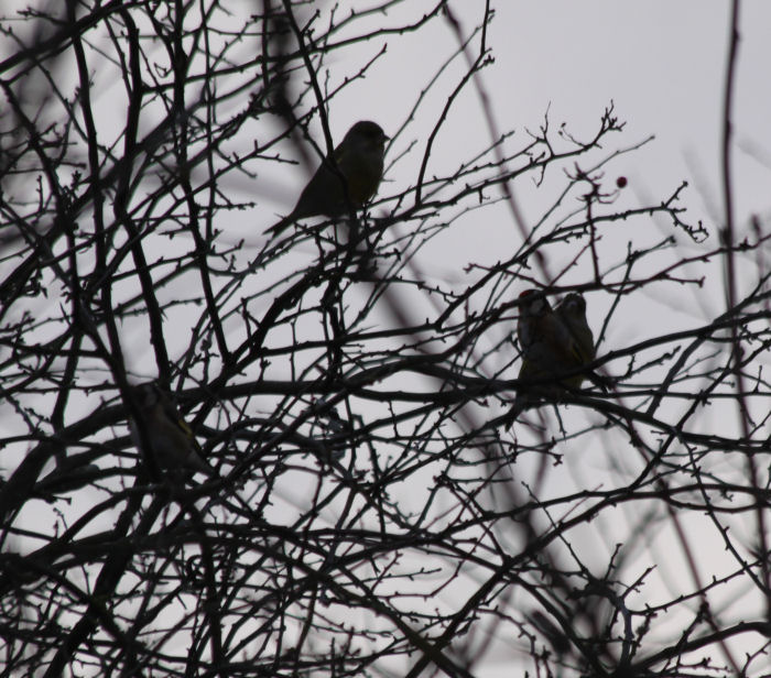 Birds behind branches