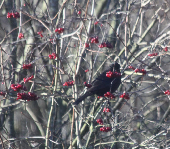 Blackbird in Guelder Rose