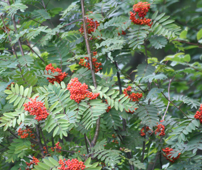 Mountain Ash (Rowan)