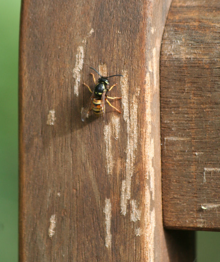 Wasp collecting wood from a seat
