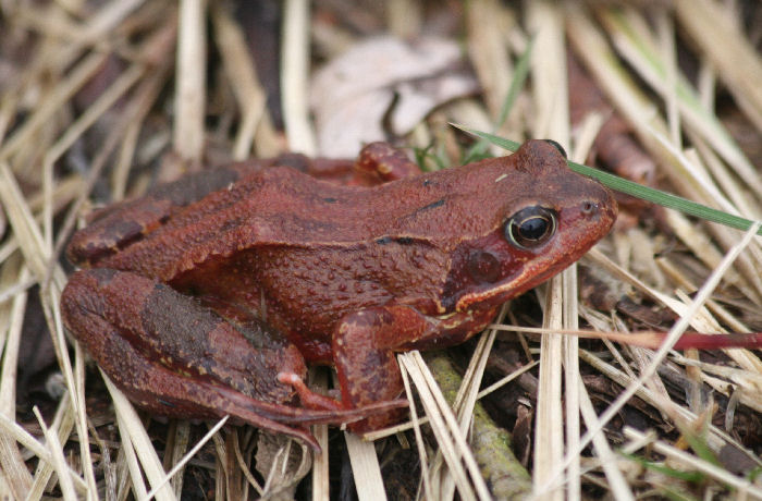 A red coloured frog