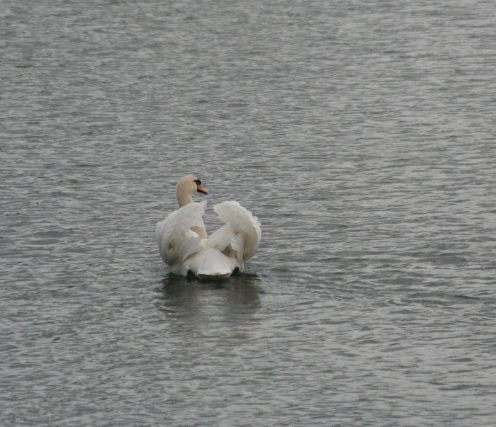 Cob Mute Swan