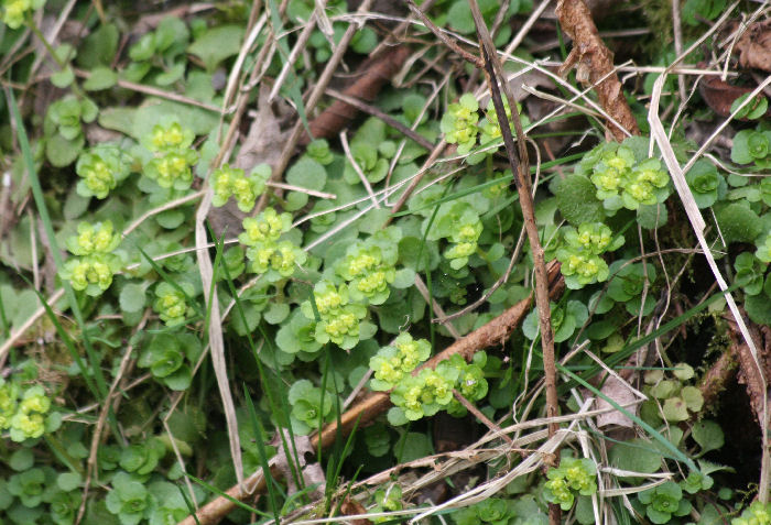 Opposite Golden Leaved Saxifrage