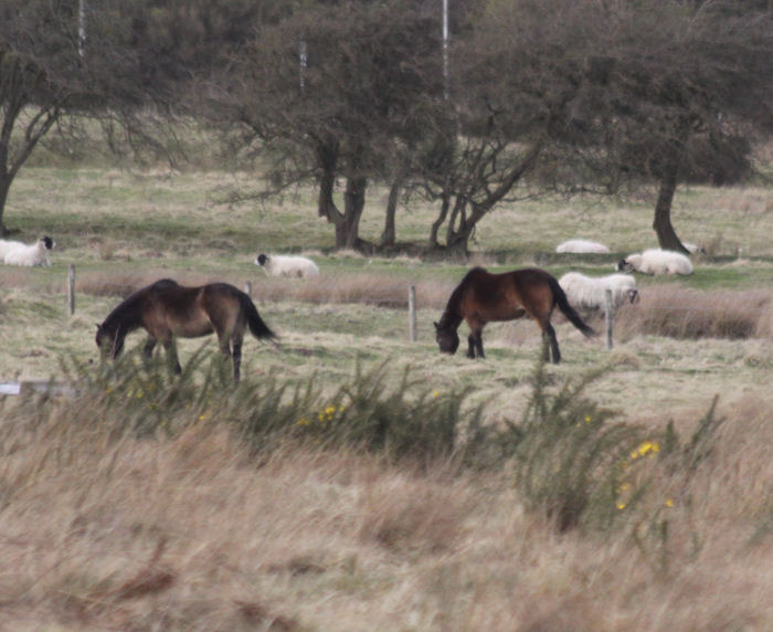 Exmoor ponies on the moor