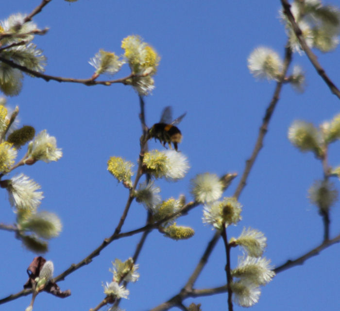 Bee on willow