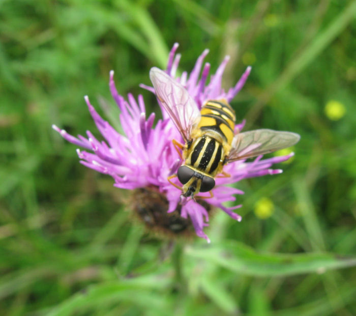 Hoberfly on Hardheads (Knapweed)