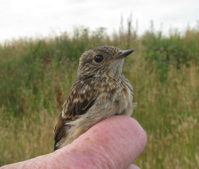 Young Stonechat
